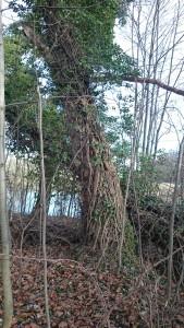 Baum am Saaleradwanderweg