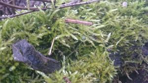 Moos auf Baumstamm mit Tautropfen